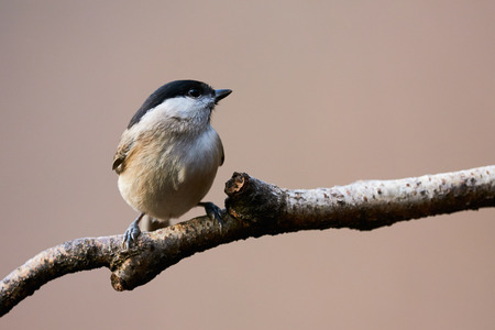 poecile palustris: Very nice chickadee perched on a small branch with brown background