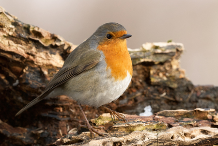Beautiful Robin perched on a big  branch