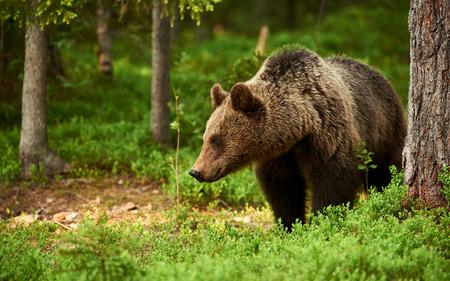 wild brown bear: Beautiful and wild brown bear in the green Finnish taiga