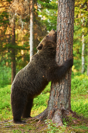 wildness: brown bear very tired leans against a tree in a brown bear very tired leans against a tree in a  Finnish forest