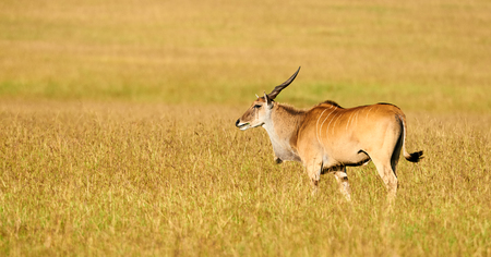 tanzania antelope: Eland (Taurotragus oryx)l argest of the african antilopes, grazing in the savanna Stock Photo