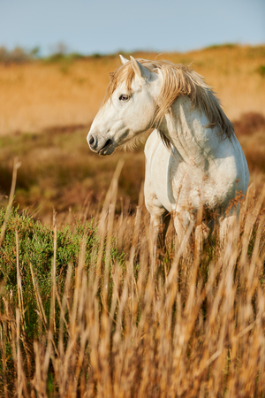 camargue: Beautiful white horse of Camargue photographed vertically