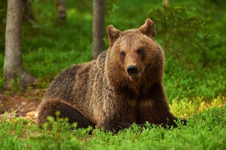 wild brown bear: Wild brown bear lying in the Finnish taiga Stock Photo
