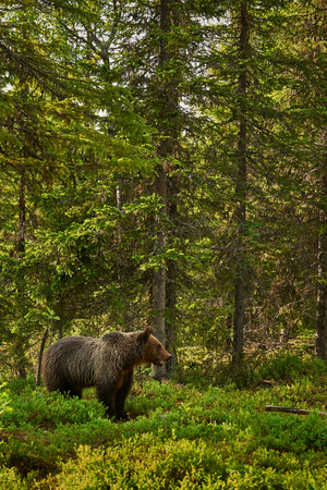 wild brown bear: Wild brown bear walking in the green finnish taiga Stock Photo
