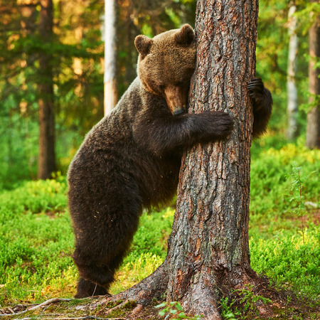 leans: brown bear very tired leans against a tree in a brown bear very tired leans against a tree in a  Finnish forest