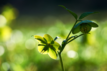 viridis: Helleborus viridis, commonly called green hellebore  is a perennial flowering plant in the buttercup family, Ranunculaceae Stock Photo