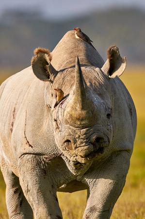 oxpecker: Portrait of a beautiful black rhino with two oxpeckers on head and back