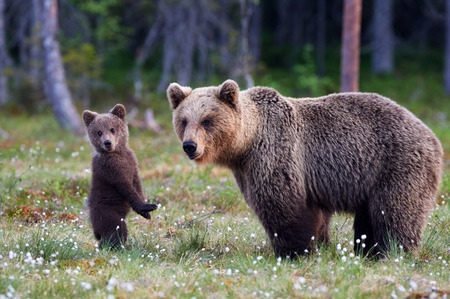 bear cub: Brown bear cub standing and her mom close Stock Photo