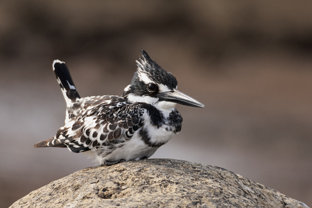 alcedinidae: Beautiful Pied Kingfisher with raised tail perched on a rock Stock Photo