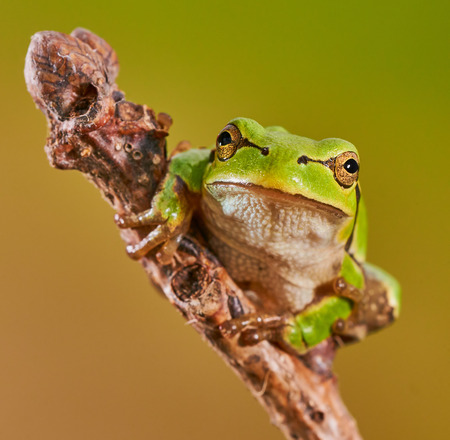 arboreal frog: Hila arborea, european tree frog is a small, green tree frog