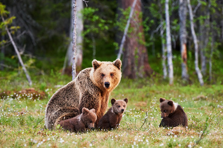 Brown mother bear protecting her cubs in a Finnish forest Stock Photo