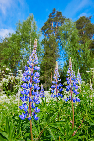 lupin: Beautiful blue Lupin photographed in Norway during spring