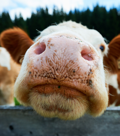 wide angle lens: Cute big nose of a cow photographed up close with a wide angle lens