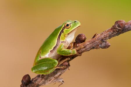 green tree frog: Hila arborea, european tree frog is a small, green tree frog