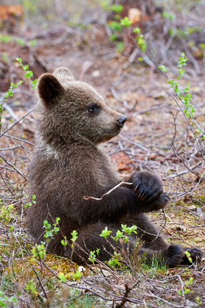 bear cub: Brown bear cub sitting in the taiga Finnish plays with a small branch