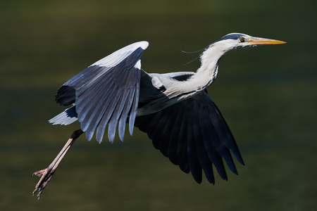 white headed: Heron flies with a green background with water