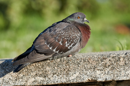 warms: Pigeon warms in the Sun perched on a low wall Stock Photo