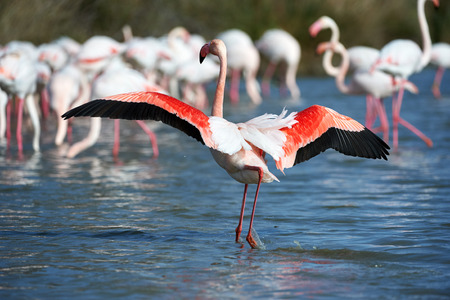 greater flamingos group photographed in Camargue 版權商用圖片