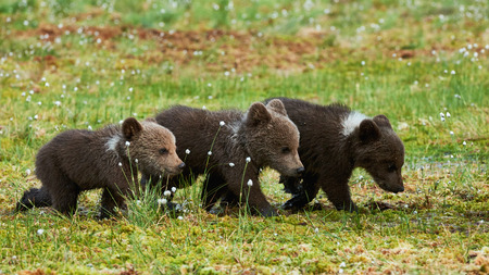 Three little brown bear cubs walking in a row in the taiga from Finland 版權商用圖片