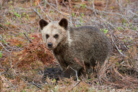the taiga: Brown bear cub sitting between cranberry plants in the finnish taiga