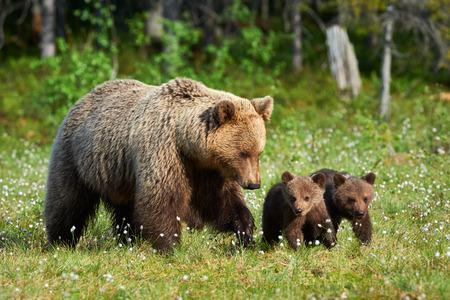 Moeder bear wandelen in de Finse taiga met zijn kleine welpen