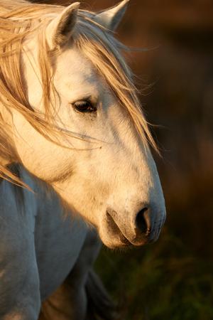 camargue: Portrait of a beautiful white horse of Camargue