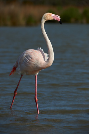 shallow water: Lonely Pink Flamingo walking in shallow water
