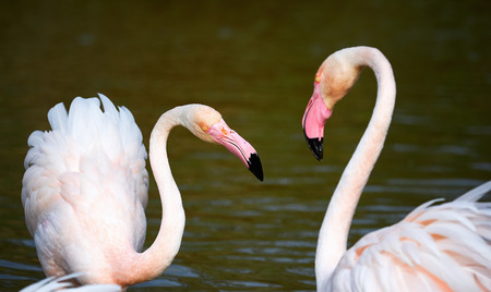 courting: Two beautiful greater flamingos courting in Camargue