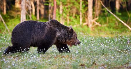 the taiga: Wild brown bear walking in the green finnish taiga Stock Photo