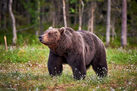 the taiga: Big male brown bear walking in the finnish taiga Stock Photo