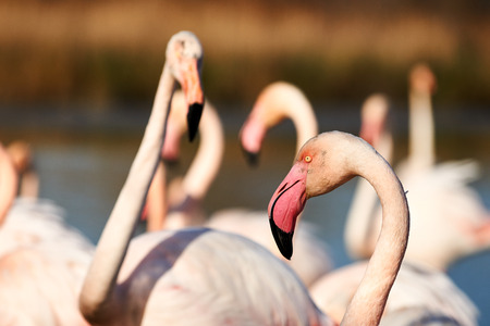greater: Closeup of greater Flamingo in between other flamingos