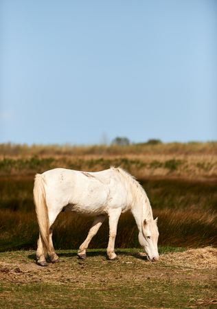 beautiful white horse graze free in the fields of  Camargue Stock Photo
