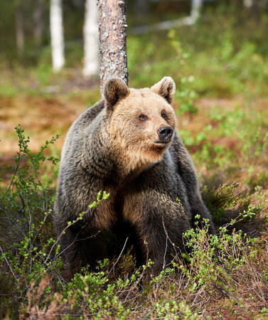 the taiga: Brown bear looks around in the taiga from Finland Stock Photo