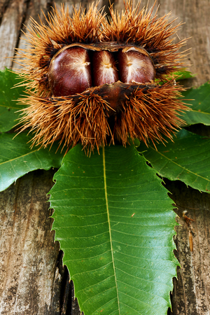 Delicious chestnuts and leaves on an old wooden table