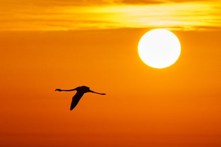 camargue: Beautiful solitary Flamingo fly at sunset in the sky of  Camargue Stock Photo