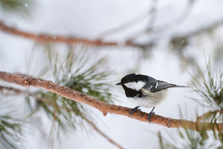 Coal tit under a heavy snowfall in a cold winter