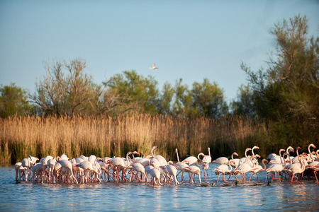 gregarious: Group of european greater flamingos walking in shallow water of a swamp
