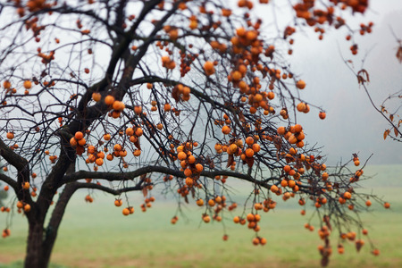 persimmon tree: persimmon tree full of fruit photographed in autumn, with intentional blur