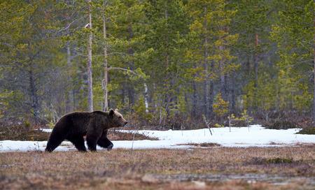 the taiga: Wild brown bear walking in the taiga in late winter Stock Photo