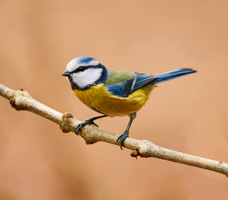 Beautiful and colorful blue tit perched on a small branch