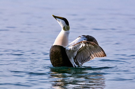 flaps: Male common eider flaps its wings in blue water