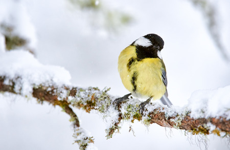 great tit perched on a branch while it snows in a cold winter Stock Photo