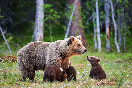 the taiga: Mother bear protects her three little puppies in the finnish taiga Stock Photo