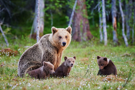 Mother bear protects her three little puppies in the finnish taiga Stockfoto