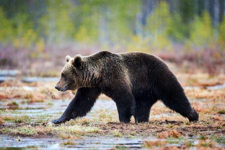 the taiga: Beautiful brown bear walking in the taiga during a snowfall