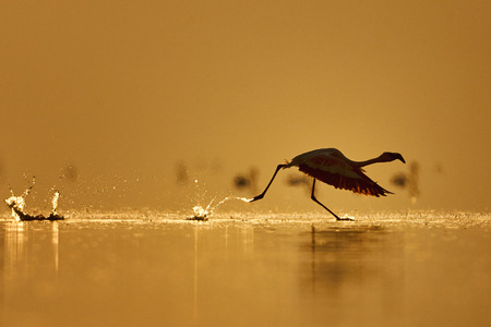 adult kenya: Lesser Flamingo photographed while takes off from a lake in Kenya at dawn