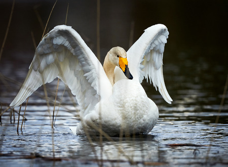 Beautiful whooper swan photographed while opening up the white wings Stock Photo
