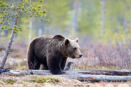 Wild brown bear walking in the taiga in late winter Stock Photo