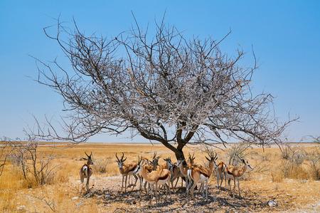 antidorcas: springbok seek shadow under a small acacia in Namibia