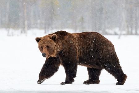 schöne braune Bär im Schnee in Finnland zu Fuß, während ein starker Schneefall absteigend